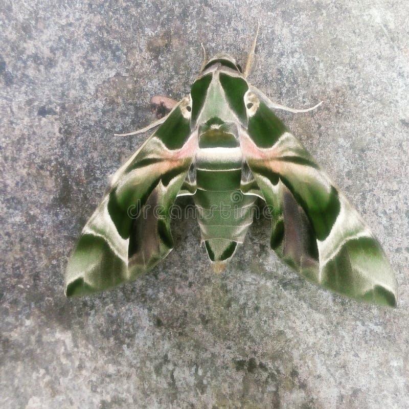Zieleń Butterfly123 obraz royalty free