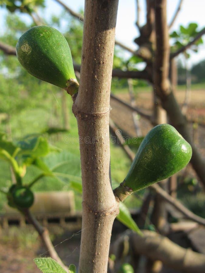 Zieleń czupirzy dojrzenie na figi gałąź w wiośnie obrazy stock