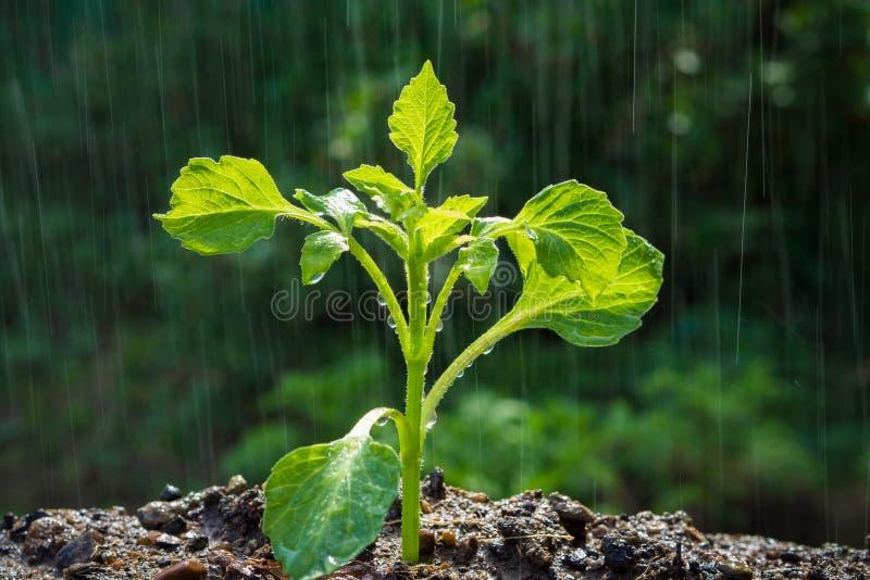 Zieleń kiełkuje w deszczu obrazy stock