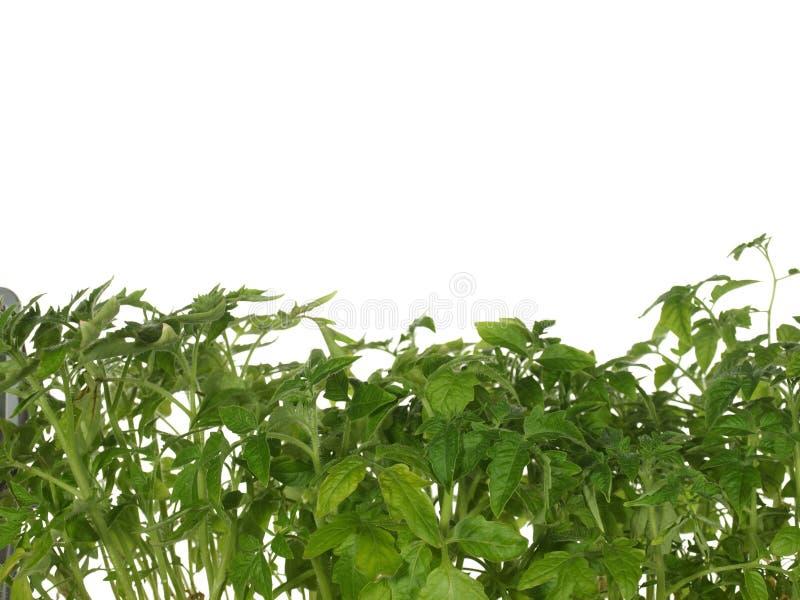 Zieleń krótkopędy odizolowywający na białym tle rozsadowy pomidor fotografia royalty free