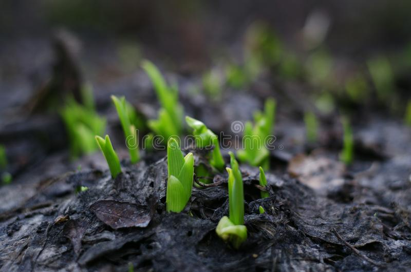 Zieleń kwiatów krótkopędy w suchej ziemi obrazy royalty free