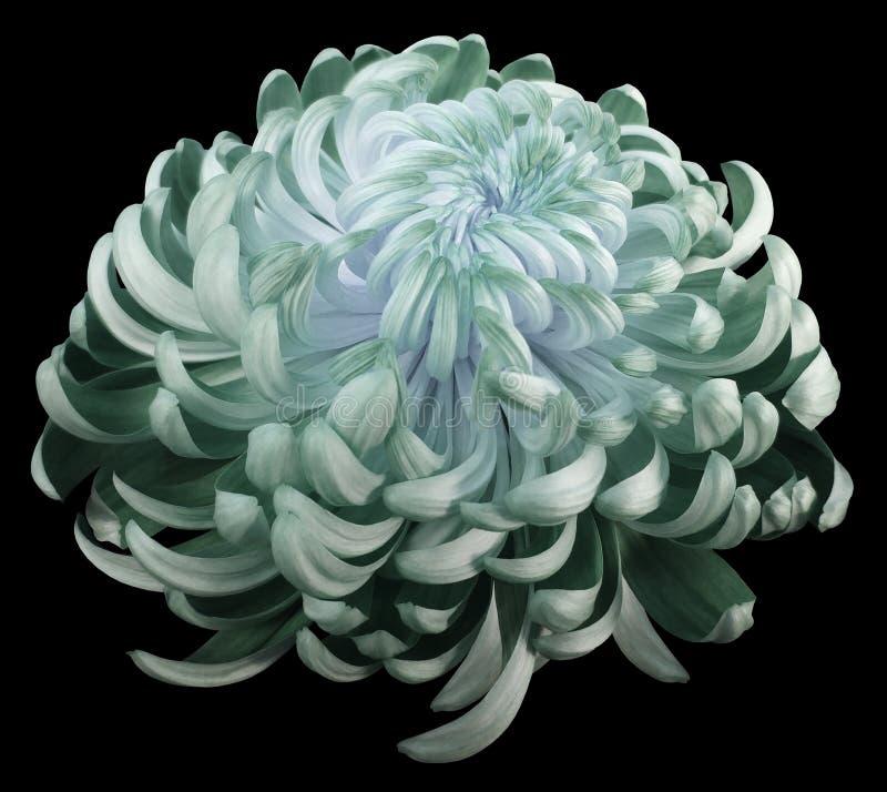 Zieleń kwiatu chryzantema Boczny widok Motley ogródu kwiat czerni odosobnionego tło z ścinek ścieżką żadny cienie zdjęcia royalty free