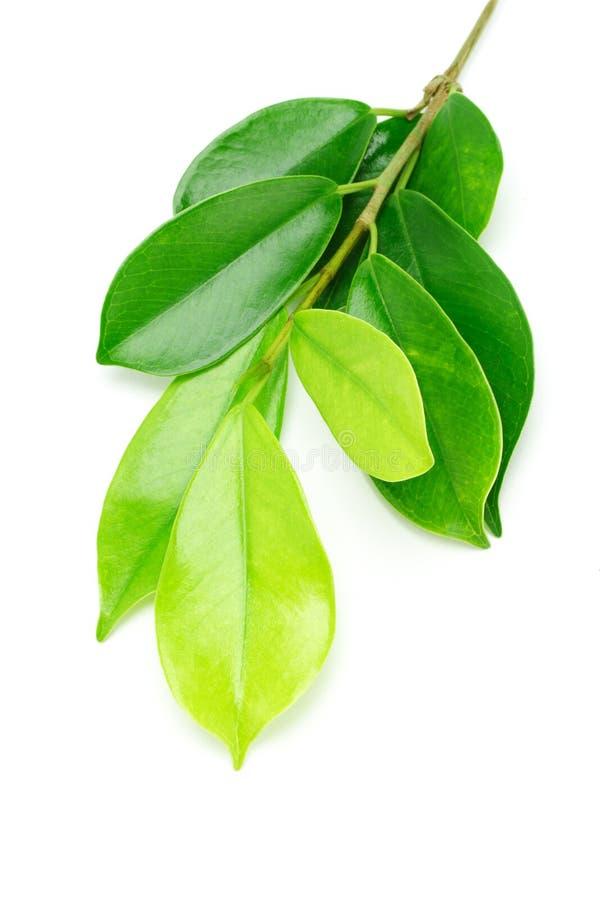 zieleń liść shinny obrazy royalty free