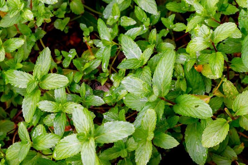Zieleń liście świeża fragrant mennica z wodą opuszczają zakończenie zdjęcie royalty free