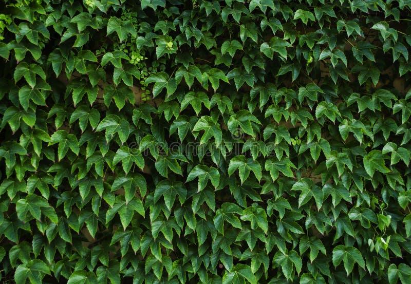 Zieleń liście dekoracyjni winogrona fotografia royalty free