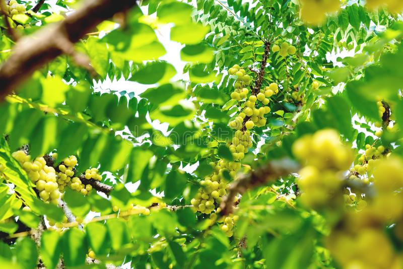 Zieleń liście deseniują, gwiazdy agrestowy drzewo w ogródzie, Phyllanthus acidus obrazy royalty free