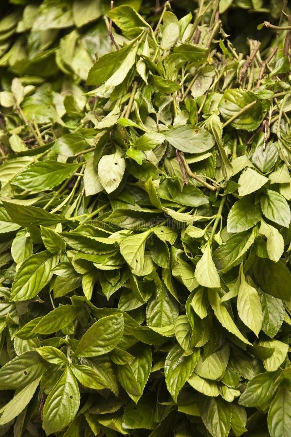 Zieleń liście dla naturalnego indygowego barwidła zdjęcia stock