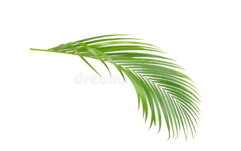 Zieleń liście drzewko palmowe ilustracja wektor