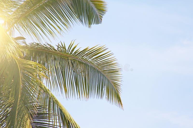 Zieleń liście drzewko palmowe, niebieskie niebo i słońce, tropikalny tło egzot Palmy w India, Goa obraz royalty free