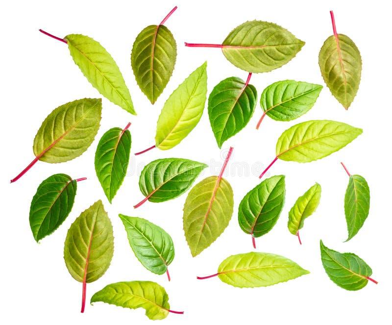 Zieleń liście fuksja odizolowywają na białym tle zdjęcia royalty free