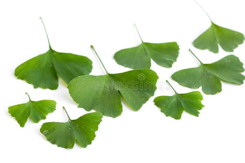 Zieleń liście Ginkgo biloba roślina odizolowywająca na białym tle Leczniczy liście relikwii drzewa miłorząb zdjęcie stock