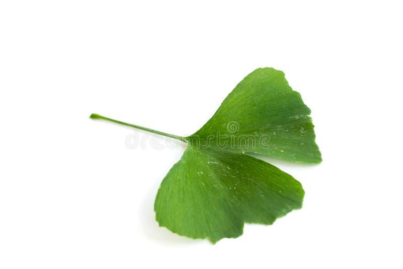 Zieleń liście Ginkgo biloba roślina odizolowywająca na białym tle Leczniczy liście relikwii drzewa miłorząb obraz royalty free