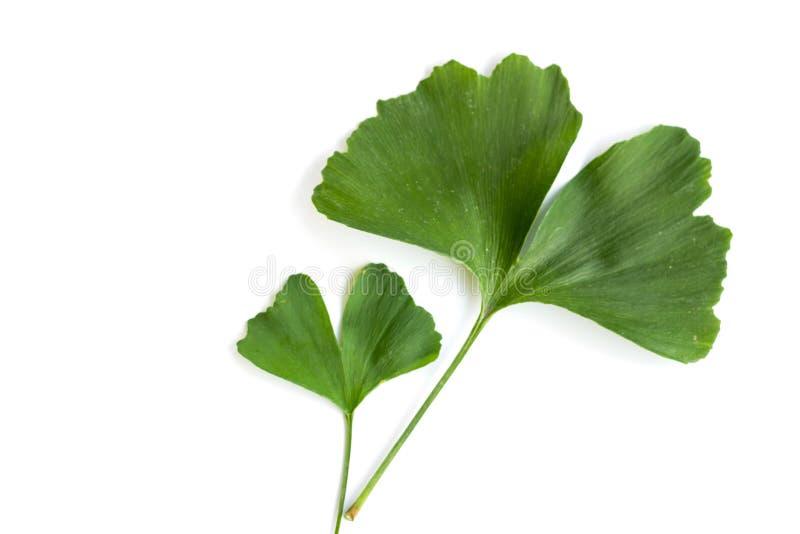 Zieleń liście Ginkgo biloba roślina odizolowywająca na białym tle Leczniczy liście relikwii drzewa miłorząb obrazy stock