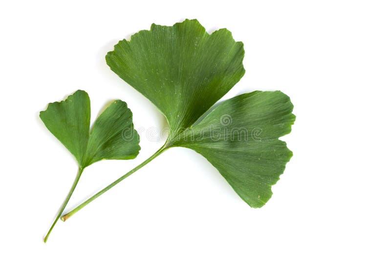 Zieleń liście Ginkgo biloba roślina odizolowywająca na białym tle Leczniczy liście relikwii drzewa miłorząb zdjęcie royalty free