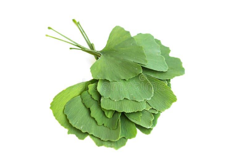 Zieleń liście Ginkgo biloba roślina odizolowywająca na białym tle Leczniczy liście relikwii drzewa miłorząb fotografia royalty free
