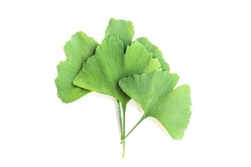 Zieleń liście Ginkgo biloba roślina odizolowywająca na białym tle Leczniczy liście relikwii drzewa miłorząb obraz stock