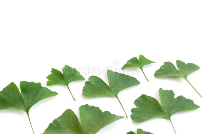 Zieleń liście Ginkgo biloba roślina odizolowywająca na białym tle Leczniczy liście relikwii drzewa miłorząb obrazy royalty free