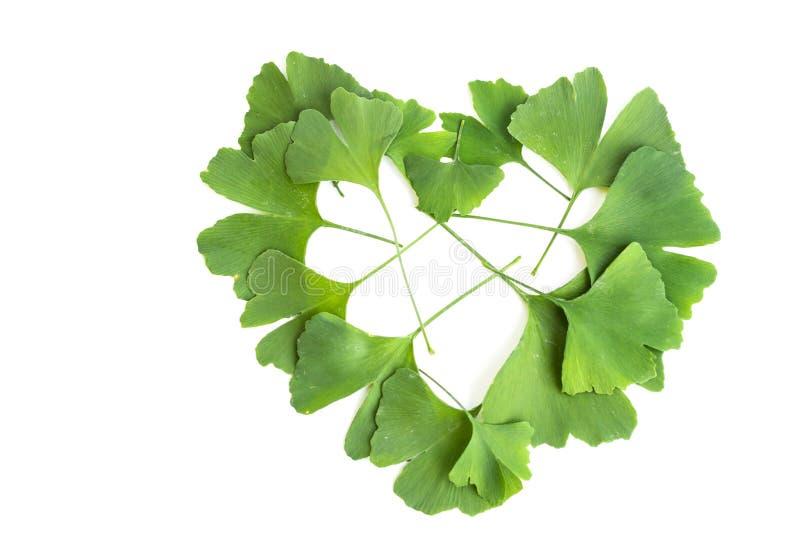 Zieleń liście Ginkgo biloba roślina odizolowywająca na białym tle Leczniczy liście relikwii drzewa miłorząb fotografia stock