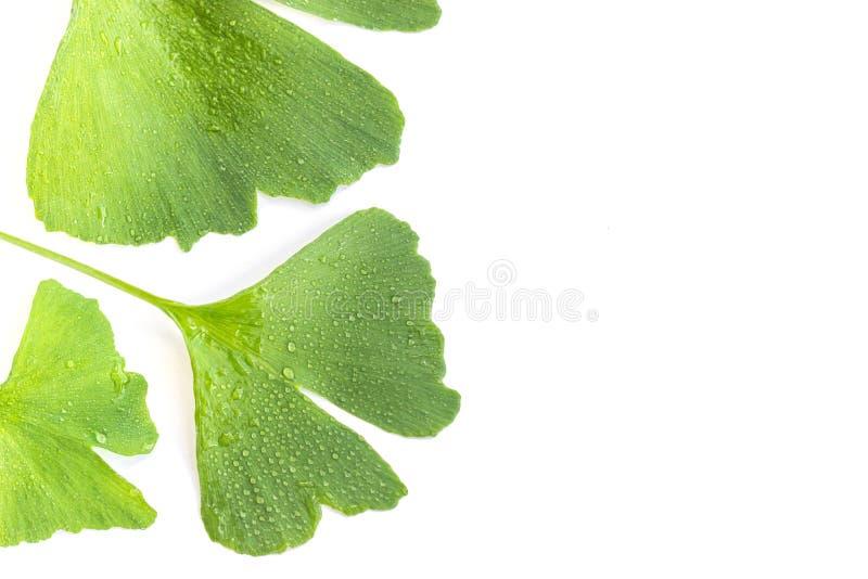 Zieleń liście Ginkgo biloba roślina odizolowywająca na białym tle Leczniczy liście relikwii drzewa miłorząb Soczyści liście w wod zdjęcia royalty free