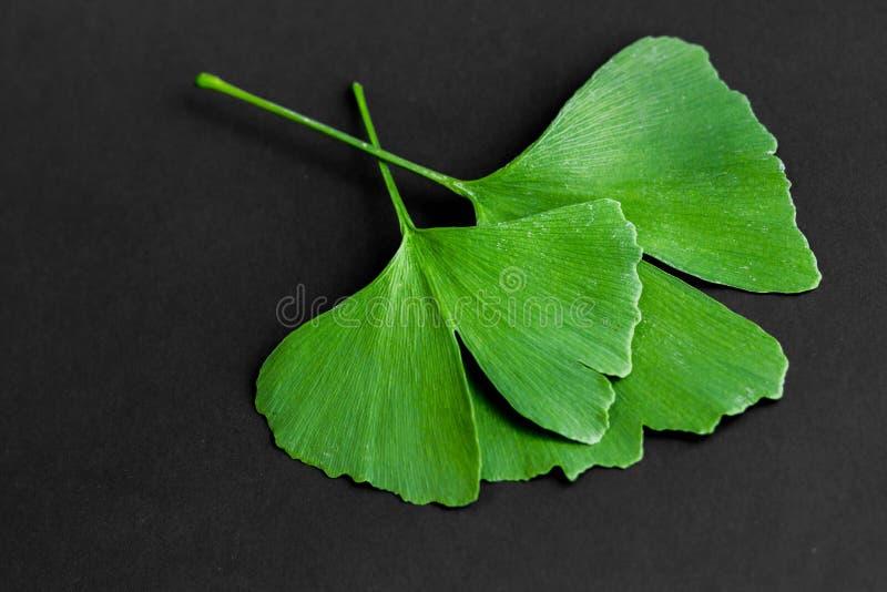Zieleń liście Ginkgo biloba roślina odizolowywająca na czarnym tle Leczniczy liście relikwii drzewa miłorząb obrazy royalty free