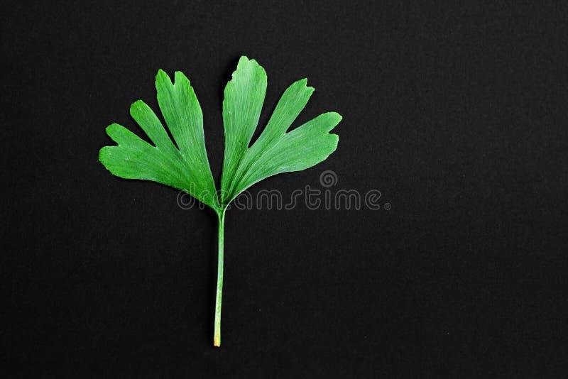 Zieleń liście Ginkgo biloba roślina odizolowywająca na czarnym tle Leczniczy liście relikwii drzewa miłorząb fotografia royalty free