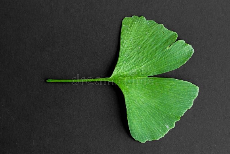 Zieleń liście Ginkgo biloba roślina odizolowywająca na czarnym tle Leczniczy liście relikwii drzewa miłorząb obraz stock