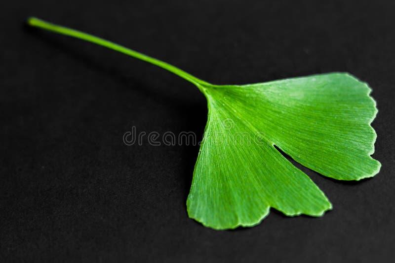Zieleń liście Ginkgo biloba roślina odizolowywająca na czarnym tle Leczniczy liście relikwii drzewa miłorząb fotografia stock