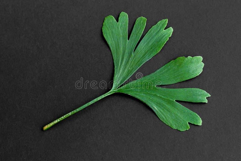Zieleń liście Ginkgo biloba roślina odizolowywająca na czarnym tle Leczniczy liście relikwii drzewa miłorząb zdjęcie royalty free