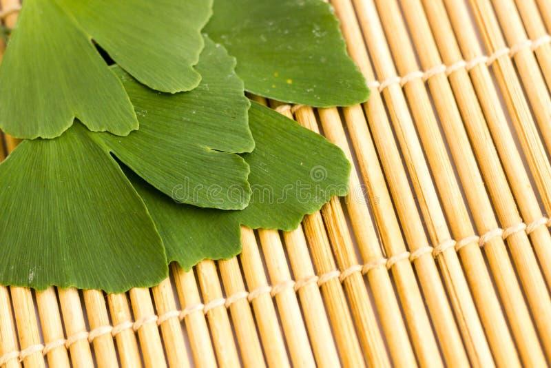 Zieleń liście Ginkgo biloba roślina odizolowywająca na tle drewniani kije Leczniczy liście relikwii drzewa miłorząb zdjęcie stock