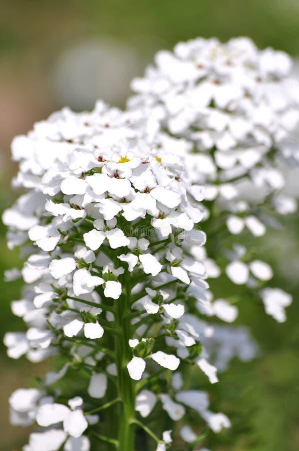 Zieleń liście i biali kwiaty obraz royalty free