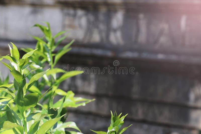 Zieleń liście i starzejąca się ściana fotografia royalty free