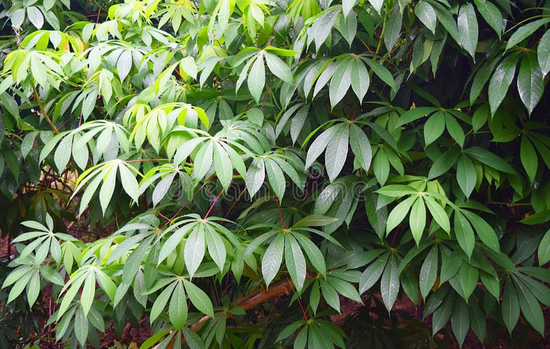 Zieleń liście kasawa Zasadzają tapioki plantację w Kerala, India - Manihot Esculenta - fotografia stock