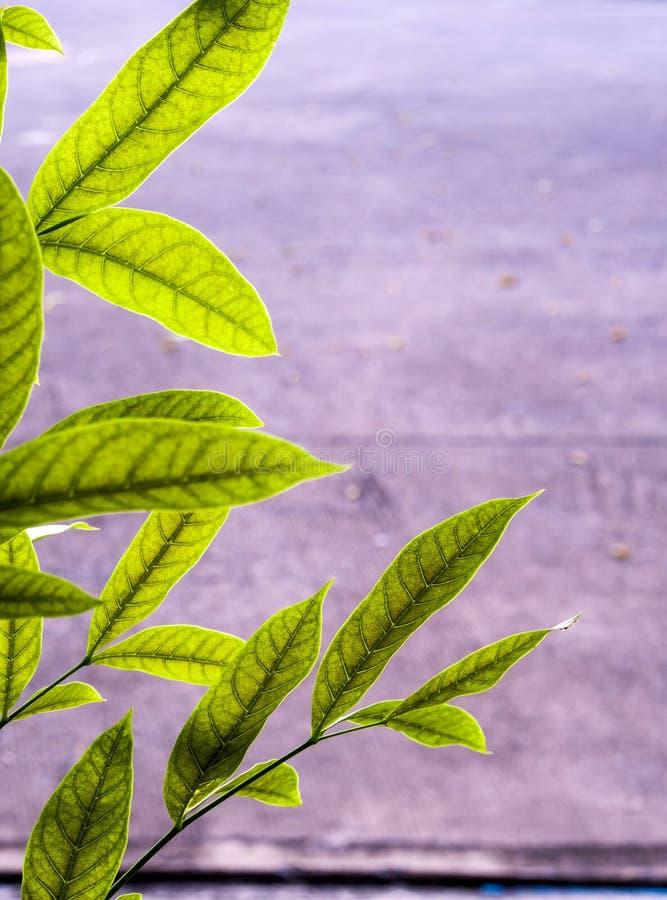 Zieleń liście mahoń obok betonowego footpath obraz stock