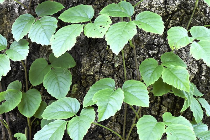 Zieleń liście na dużej drzewnej barkentynie obraz royalty free