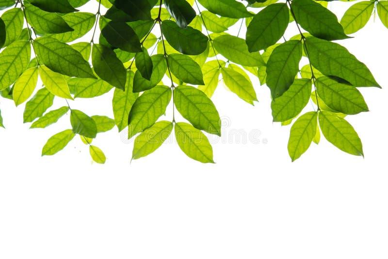 Zieleń liście obramiają żadny białego tło zdjęcie royalty free