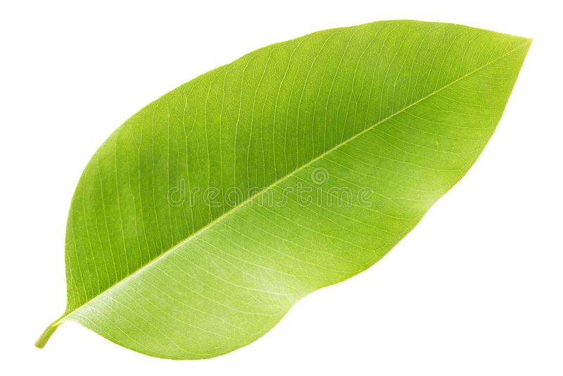 Zieleń liście odizolowywający na białym tle, liść drzewny Golde zdjęcie royalty free