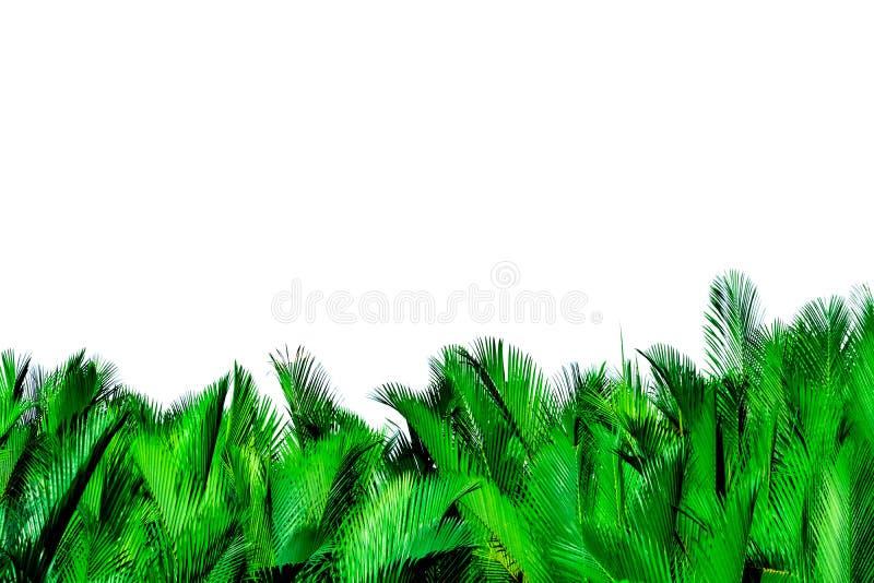 Zieleń liście odizolowywający na białym tle palma Nypa fruticans Wurmb Nypa, Atap palma, Nipa palma, Namorzynowa palma zielony li obrazy royalty free