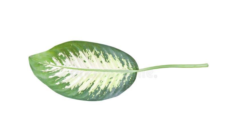 Zieleń liście odizolowywający na białym tle z ścinek ścieżką, Niemą trzciną lub Dieffenbachia tekstury, naturą odgórny widok zdjęcia royalty free
