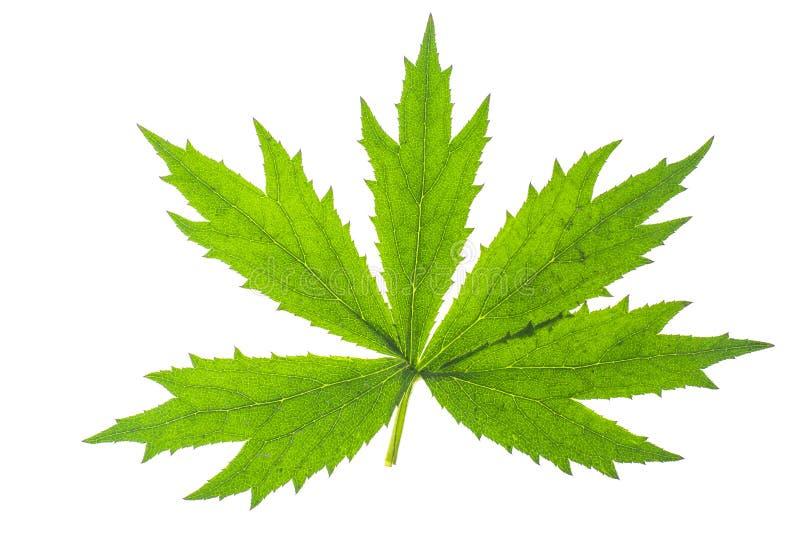 Zieleń liście ogrodowa roślina odizolowywali Odosobnionego na białym backgrou fotografia stock