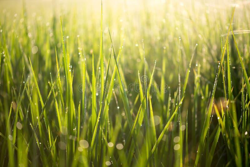 Zieleń liście ryż w ranku z wody światłem słonecznym i kroplą obrazy royalty free