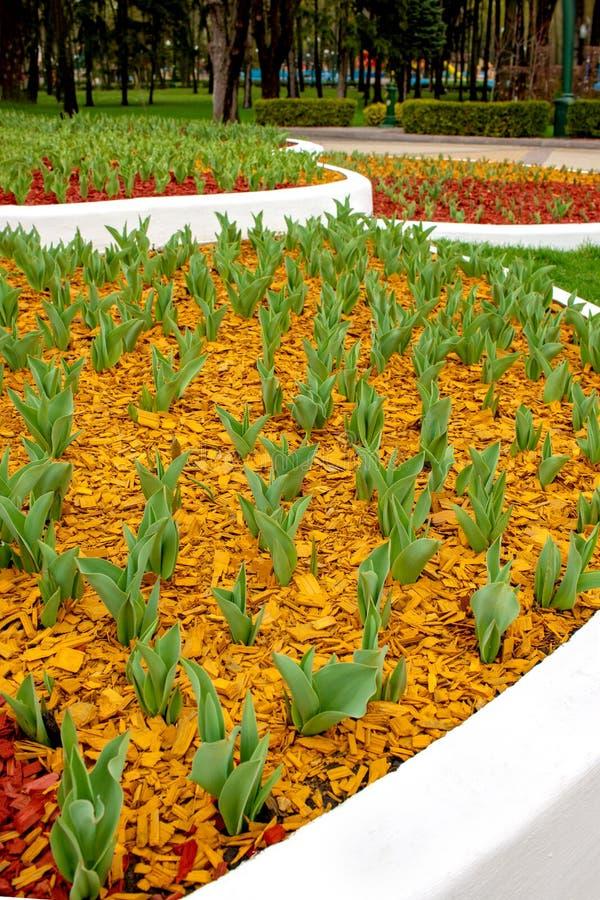 Zieleń liście tulipany wyłaniali się od ziemi na kwiatu łóżku w parku w wczesnej wiośnie Ziemia zakrywa z barwionym zdjęcia stock
