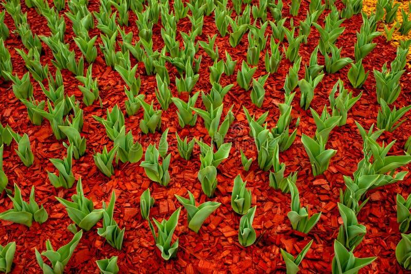 Zieleń liście tulipany wyłaniali się od ziemi na kwiatu łóżku w parku w wczesnej wiośnie Ziemia zakrywa z barwionym fotografia stock