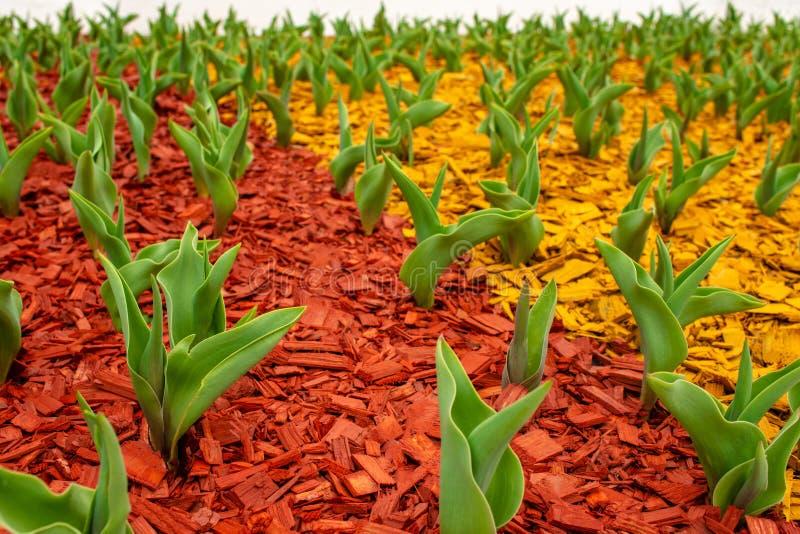 Zieleń liście tulipany wyłaniali się od ziemi na kwiatu łóżku w parku w wczesnej wiośnie Ziemia zakrywa z barwionym obraz royalty free