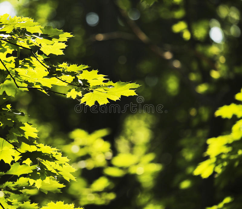 Zieleń liście w słońcu po środku wiosny obrazy royalty free