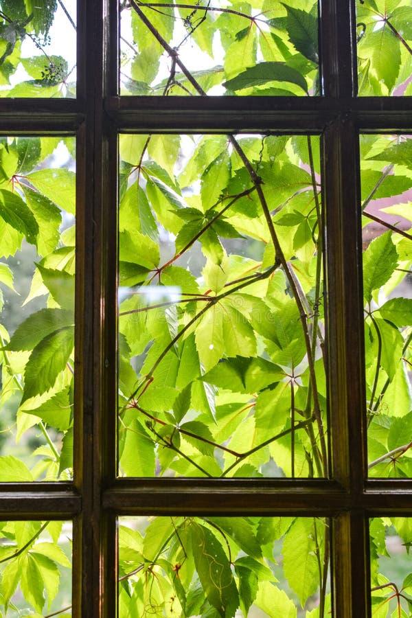 Zieleń liście winogrona z tyłu okno zdjęcia stock