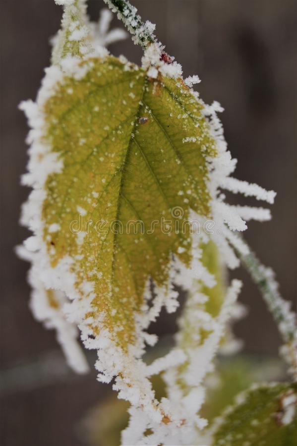 Zieleń liście zakrywający z płatek śniegu makro- częściami zimy jesień zdjęcie royalty free