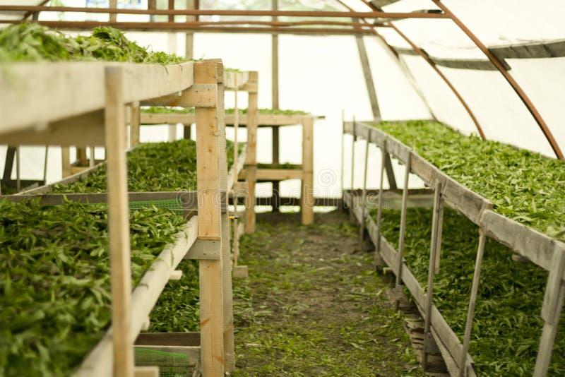 Zieleń liście ziele na półkach Traktowania kwiecenia liście i przygotowywają dla fermentacji obrazy royalty free