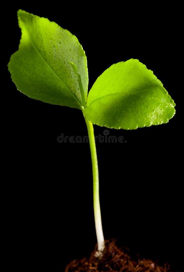 zieleń odizolowywająca flanca obrazy royalty free