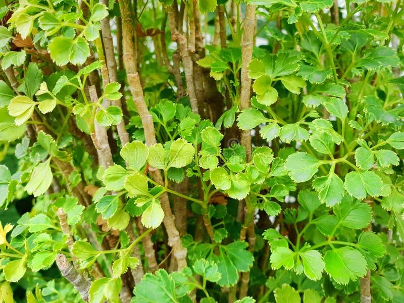 Zieleń opuszcza jako tło Polyscias Guilfoylei, Quercifolia lub bodziszek aralia, obrazy royalty free