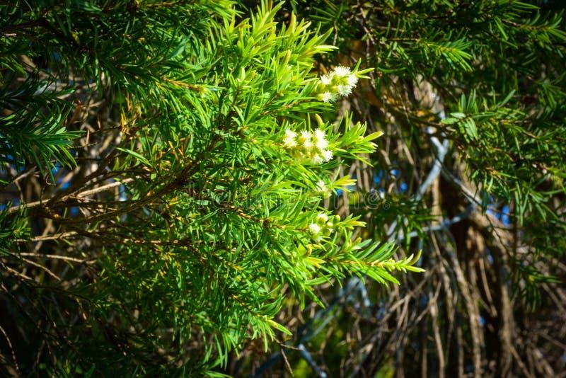 Zieleń Opuszcza sosnowego tło, Sosnowi liście są zielenią i kwiaty są biali obraz stock